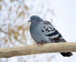 鳩 保護 病気