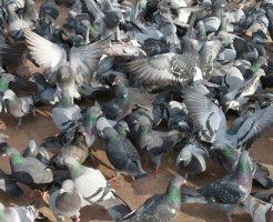 鳩 飼育 餌付け 法律
