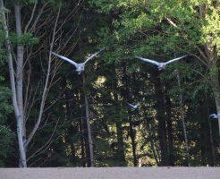 鳩 飼育 規制