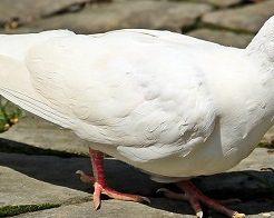 鳩 手品 飼う