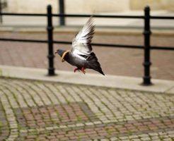 鳩 羽 広げる