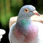 鳩の色と種類について