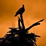 鳩が出てくる夢は、夢占いではどんな意味がある?