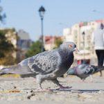 鳩の鳴き声が気持ち悪いという人は意外と多い?!