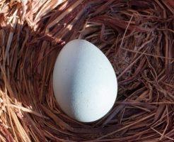 鳩 孵化 温度