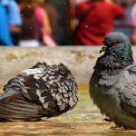 鳩の子育て放棄