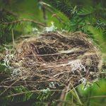 鳩の雛が巣から落ちたけど、どうすればいい?