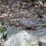 鳩の種類も様々。キジバトと鳩の違いは何?