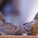 鳩の雛が鳴かないのは、どうして?