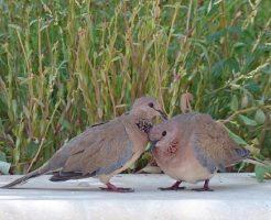 鳩 孵化 営巣