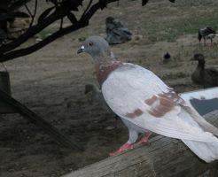 鳩 産卵 時期