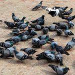 鳩にあげたパンくずが横取りされる!鳩の餌やりの問題点とは?