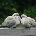 鳩の雛の巣立ちと期間について