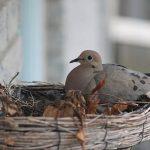 鳩の飼育方法と卵の孵化の仕方