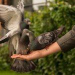 鳩は子育て中ヒナにどんな餌を与えているの?