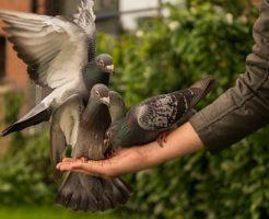 鳩 子育て 餌