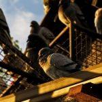 鳩のヒナはどの時期に孵化するの?