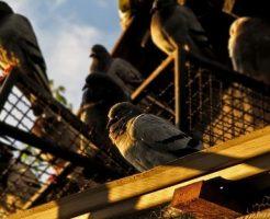 鳩 孵化 時期