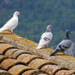 鳩の種類で白いものは?