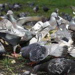 鳩の色と遺伝について