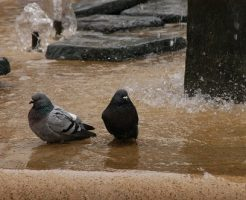 鳩 水浴び 冬