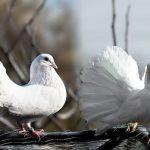 普通の鳩とは少し違う?白い鳩の持つ意味とは?