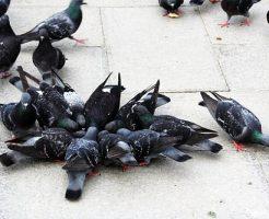 鳩 罠 捕獲