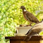 鳩のオスの特徴とは?なぜ首を振って歩くの?