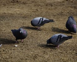 鳩 巣立ち 時期