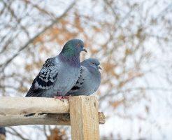 鳩 巣 鳴き声 時間