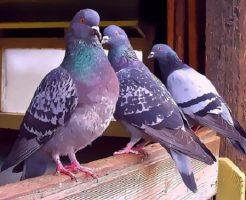 鳩 嫌い 音
