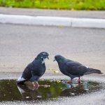 鳩のヒナの巣立ちまで、親鳥は何をするのか?