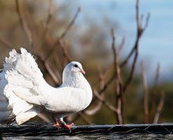 鳩 飼育 雛 温度