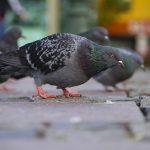 鳩のサイズはどの鳩も一緒なのは、なぜ?